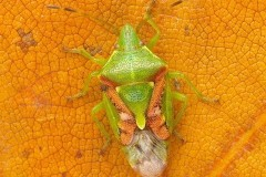 Cyphostethus tristriatus - Juniper Shieldbug, Woodside Nurseries, Austerfield.