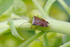 Elasmostethus intersinctus - Birch Shieldbug, Woodside Nurseries, Austerfield.