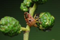 Elasmucha grisea - Parent Bug, Clumber Park NT