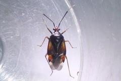 Deraeocoris ruber - Capsid Bug