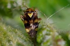 Liocoris tripostulatus, Thorne Moor