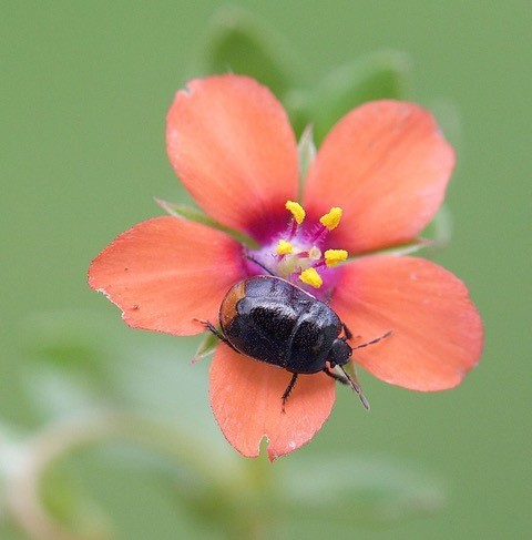Legnotus limbosus - Bordered Shieldbug, Woodside Nurseries, Austerfield