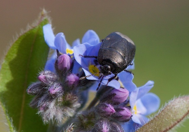 Sehirus luctuosus - Forget-me-Not Shieldbug, Woodside Nurseries, Austerfield.