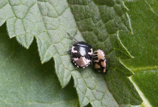Tritomegas bicolor - Pied Shieldbug (adult & nymph), Woodside Nurseries, Austerfield.y