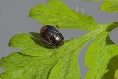 Legnotus limbosus - Bordered Shieldbug, Woodside Nurseries, Austerfield.