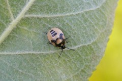 Tritomegas bicolor - Pied Shieldbug (nymph), Woodside Nurseries, Austerfield.