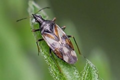 Anthocoris nemorum - Common Flower Bug, Thorne Moor