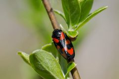 Cercopis vulnerata - Red-and-black Froghopper, Thorne Moor