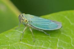 Cicadella viridis - Green Leaf-hopper, Thorne Moor.