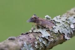 Ledra aurita - Eared Leafhopper, Woodside Nurseries, Austerfield.