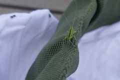 Metrioptera brachyptera - Bog Bush Cricket, Thorne Moor