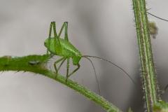 Leptophyes punctatissima - Speckled Bush Cricket (Juvenile male), Barrow Hills NR