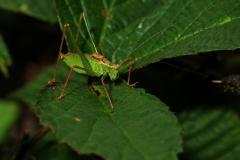 Leptophyes punctatissima - Speckled Bush Cricket, Barrow Hills NR