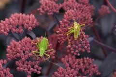 Leptophyes punctatissima - Speckled Bush Cricket,  (male and female), Breezy Knees Gardens, Yorks.