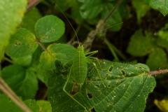 Leptophyes punctatissima - Speckled Bush Cricket (Juvenile female), Barrow Hills NR