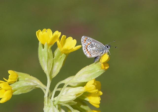 Aricia agestis - Brown Argus, Woodside Nurseries, Austerfield.