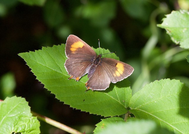 Thecla betulae - Brown Hairstreak, Chambers Farm Wood, Lincs.