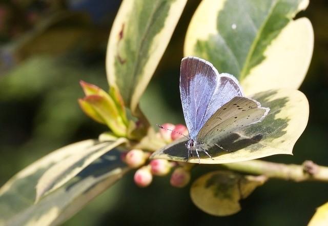Celastrina argiolus - Holly Blue (female), Woodside Nurseries, Austerfield.