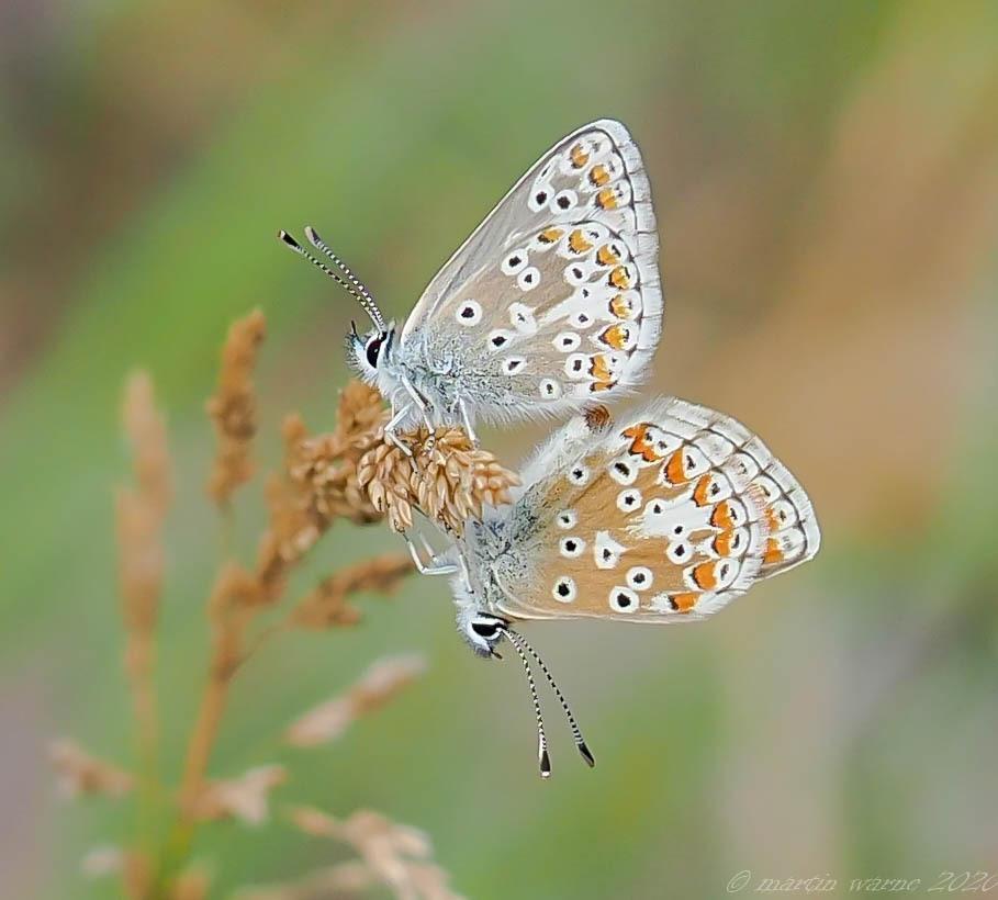 Polyommatus icarus - Common-Blue,  Thorme Moor