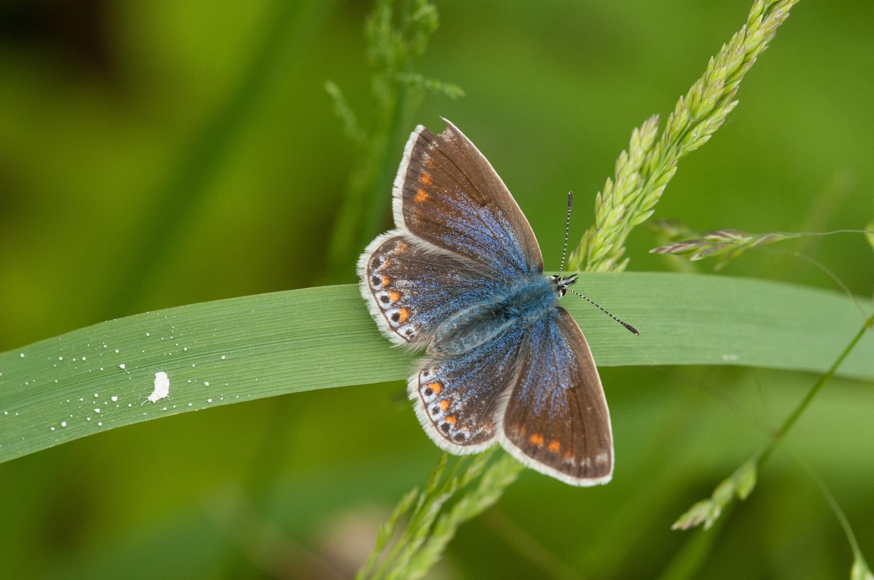 Polymmatus icarus , Common Blue