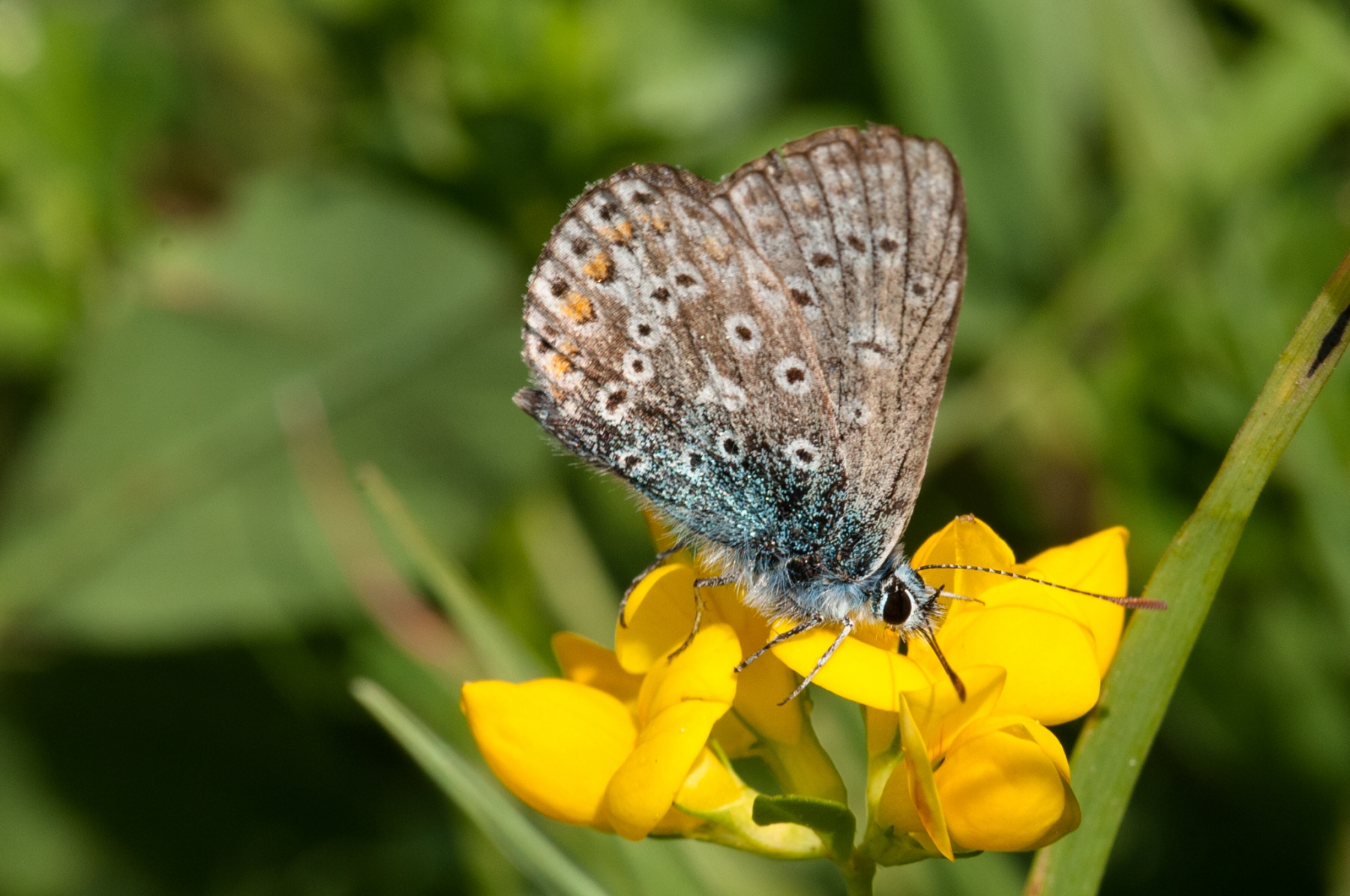 Polymmatus icarus , Common Blue (male)