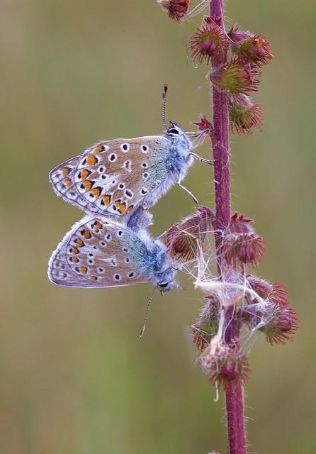 Polyommatus icarus - Common-Blue, Rimac, Lincs.