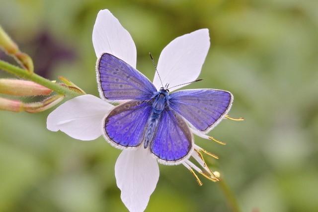 Polyommatus icarus - Common-Blue, Woodside Nurseries, Austerfield.