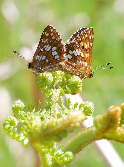 Hamearis lucina - Duke of Burgundy, N. Yorks.