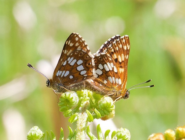 Hamearis lucina - Duke of Burgundy (mating pair), N. Yorks.