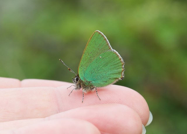Callophrys rubi, - Green Hairstreak, Donna Nook, Lincs.