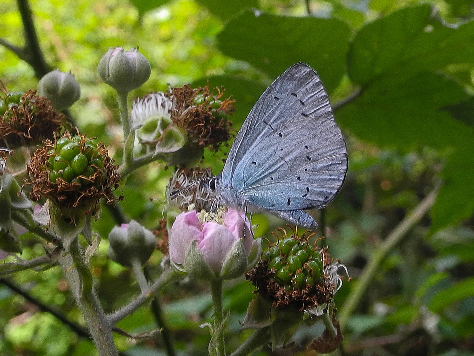 Celastrina argiolus - Holly Blue