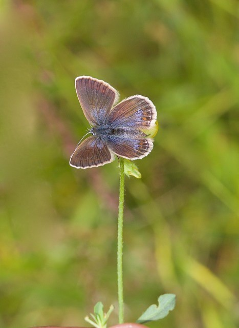 Plebejus argus - Silver-studded Blue (female), N Notts