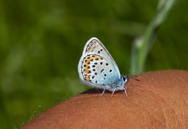 Plebejus argus - Silver-studded Blue (male), N Notts