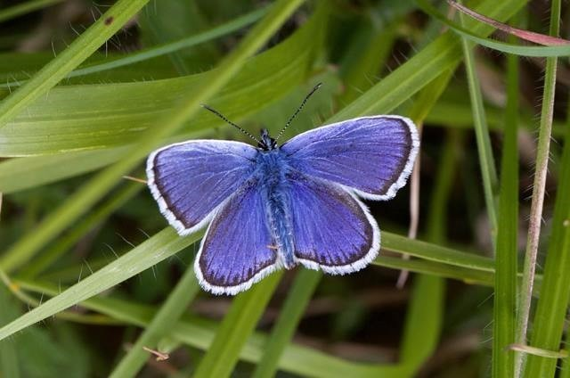 Plebejus argus - Silver-studded Blue (male),. N Notts