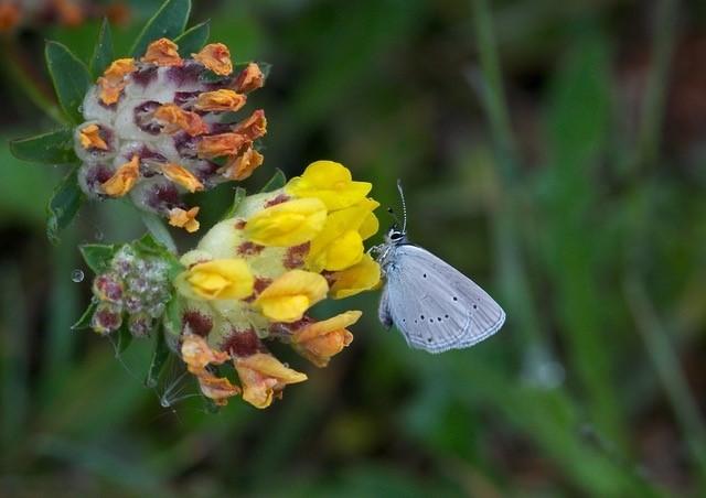 Plebejus argus - Silver-studded Blue, N Notts