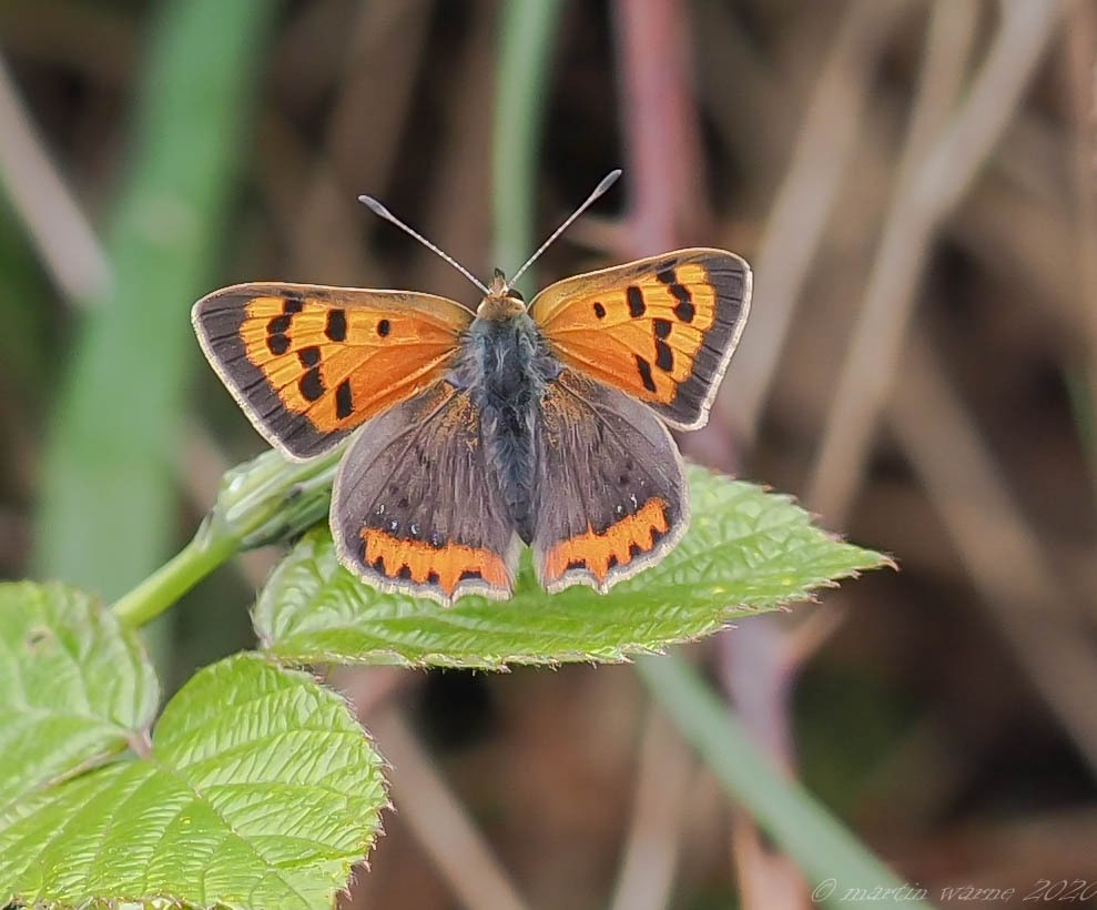 Lycaena phlaeas - Small Copper, Thorne Moor
