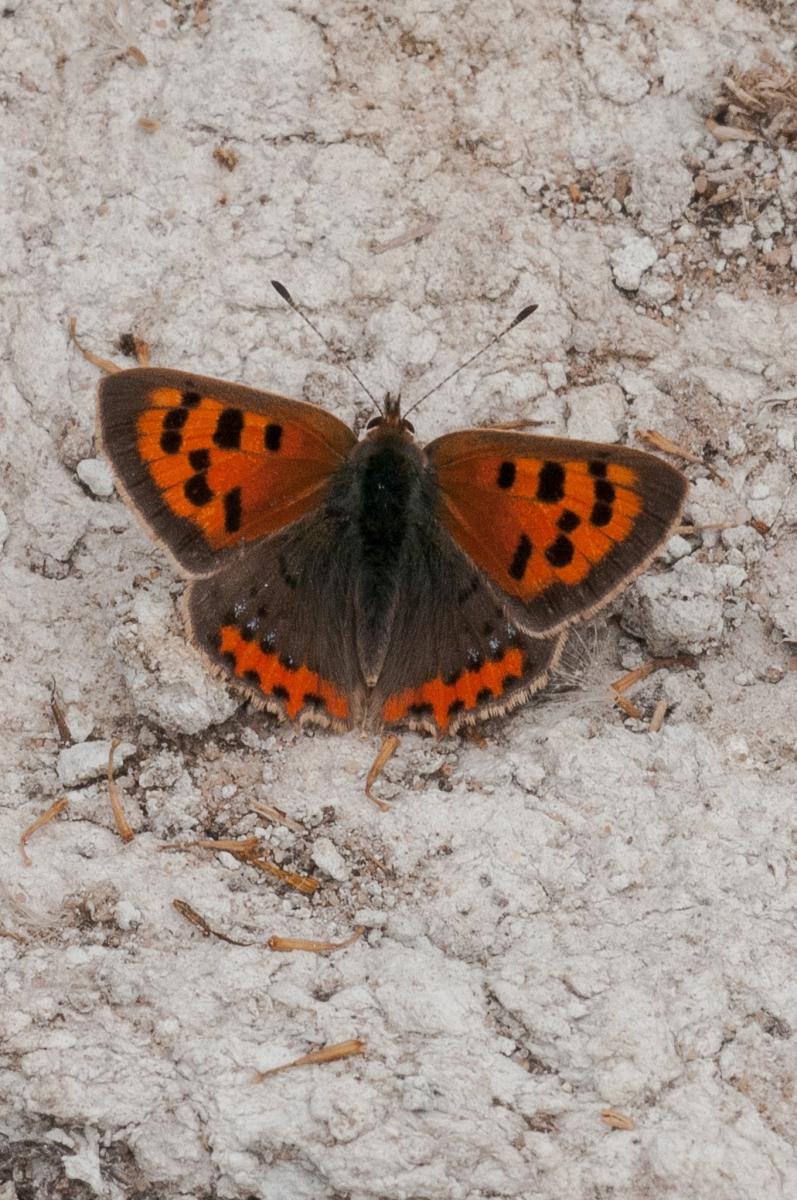 Lycaena phlaeas - Small Copper