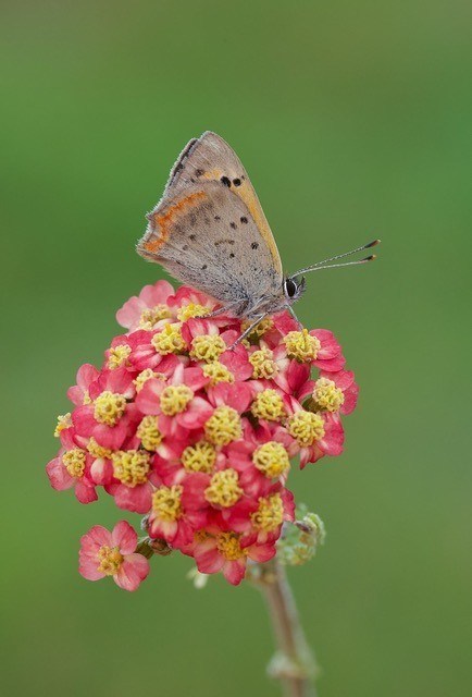 Lycaena phlaeas - Small Copper, Woodside Nurseries, Austerfield.