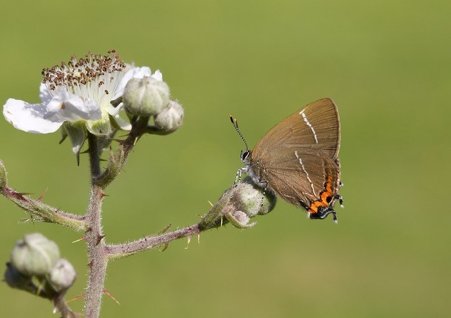 Satyrium w-album - White-letter Hairstreak, Woodside Nurseries, Austerfield.