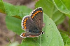 Aricia agestis - Brown Argus