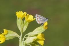 Aricia agestis - Brown Argus, Woodside Nurseries, Austerfield.