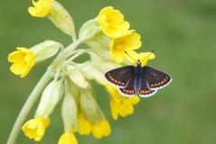 Aricia agestis .- Brown Argus, Woodside Nurseries, Austerfield