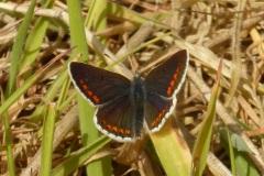 Aricia agestis - Brown Argus, Kings Wood, Bawtry