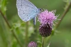 Celastrina argiolus - Holly Blue, Anston.