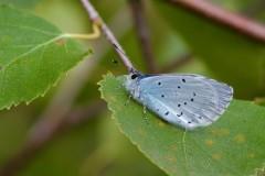 Celastrina argiolus - Holly Blue , Woodside Nurseries, Austerfield.
