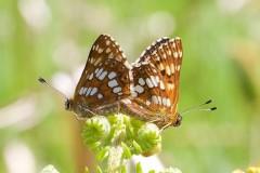 Hamearis lucina - Duke of Burgundy (mating pair), N. Yorks.