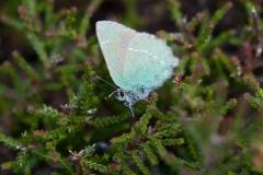 Callophrys rubi - Green Hairstreak
