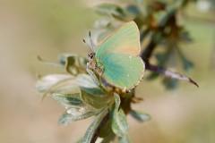 Callophrys rubi, - Green Hairstreak, Donna Nook, Lincs.