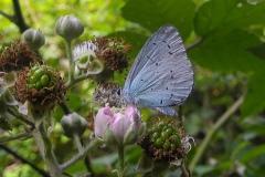 Celastrina argiolus - Holly Blue