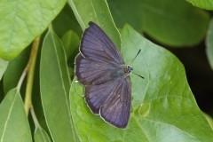 Favonius quercus - Purple-hairstreak, Woodside Nurseries, Austerfield.